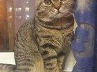 Фотография в Кошки и котята Вязка Коn молодjq, здоровsq, есть ветпаспорт. игривый в Когалыме 0
