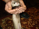 Изображение в Домашние животные Грызуны Хорёк девочка примерно 2010 года рождения. в Колпино 0