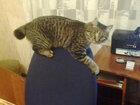 Фотография в   27. 06. 2015 пропал кот Курильский бобтейл. в Комсомольске-на-Амуре 0