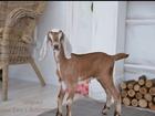 Изображение в   Продаются Англо- нубийские козочки. Родители в Конаково 100