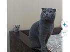 Фото в   Приглашаю на вязку, кот шотландец вислоухий в Конаково 0