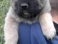 Предлагаю щенка Предлагаю щенков Кавказской овчарки. Отличного происхождения. Во