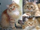 Скачать бесплатно фото Потерялись животные пропала кошка рыжая, пушистая, взрослая, домашняя, кастрированная 41586452 в Королеве