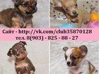 Фотография в Собаки и щенки Продажа собак, щенков ЧИ-ХУА-ХУА чистокровных щеночков и чистокровных в Костроме 0