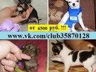 Фото в Собаки и щенки Продажа собак, щенков Продам по минимальным ценам чистокровных в Костроме 6500