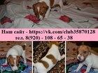 Фотография в Собаки и щенки Продажа собак, щенков Замечательных щеночков джек рассел терьера в Костроме 15000