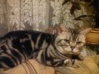 Фотография в   -950 -249-54-58-Забавные котейки, скоттиш в Буе 2000