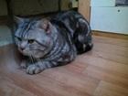 Скачать бесплатно foto Продажа кошек и котят вязка с мраморным чемпионом британцем 39883504 в Костроме