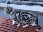 Свежее foto Вязка кошек чистокровный британец ждёт невест котята в продаже от 2500 40718231 в Костроме