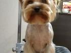 Просмотреть изображение Стрижка собак Стрижка собак и кошек, триминг, вычесывание 51749448 в Костроме