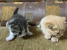 Отдадим шотландских котят