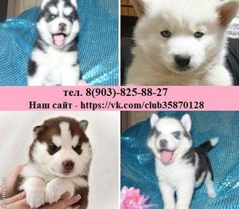 Изображение в Собаки и щенки Продажа собак, щенков Продажа щенков с хорошим выбором окрасов, в Костроме 9000