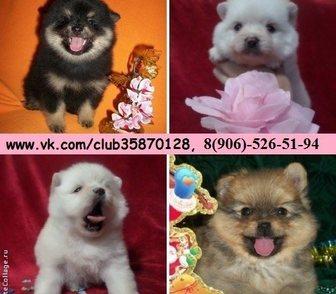 Фотография в Собаки и щенки Продажа собак, щенков Шпица чистокровных и не чистокровных красивеееенных в Костроме 0