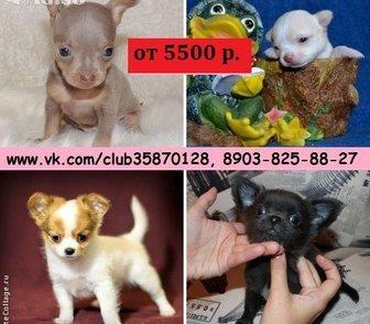 Фотография в Собаки и щенки Продажа собак, щенков В продаже чистокровные щенки чихуахуа и чистокровные в Костроме 0