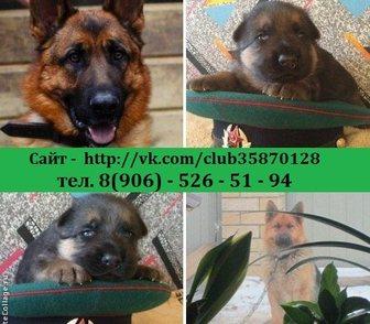 Изображение в Собаки и щенки Продажа собак, щенков НЕМЕЦКОЙ ОВЧАРКИ чистокровных крупных добротных в Костроме 0