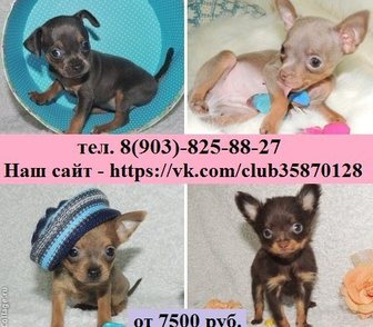 Фотография в Собаки и щенки Продажа собак, щенков Продам недорого чистокровных чихуахуа и чистокровных в Костроме 0