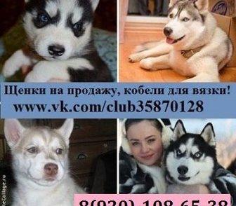 Фотография в Собаки и щенки Продажа собак, щенков ХАСКИ породных чистокровных щеночков разных в Костроме 0