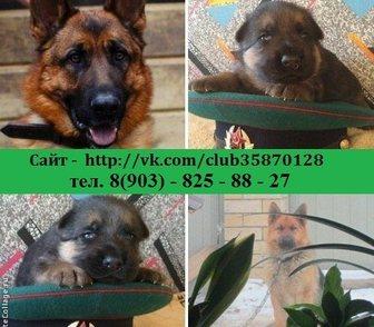 Фотография в Собаки и щенки Продажа собак, щенков НЕМЕЦКОЙ ОВЧАРКИ чистокровных крупных добротных в Костроме 0