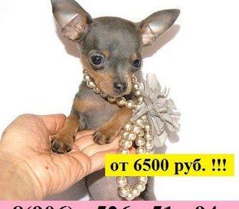 Фото в Собаки и щенки Продажа собак, щенков ТОЙ-ТЕРЬЕРА чистокровных щеночков продам в Костроме 0