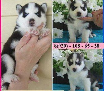 Фотография в Собаки и щенки Продажа собак, щенков Продам по минимальным ценам чистокровных в Костроме 7000