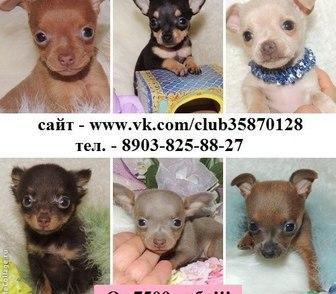 Изображение в Собаки и щенки Продажа собак, щенков ТОЙ-ТЕРЬЕРА чистокровных щеночков продам в Костроме 7500