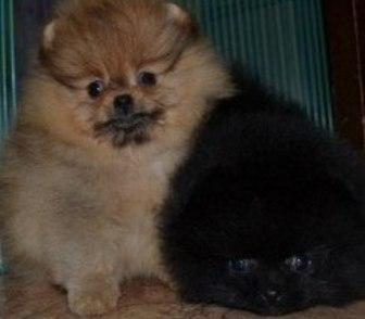 Фотография в Собаки и щенки Продажа собак, щенков Чистокровных щеночков продам недорого и не в Костроме 0