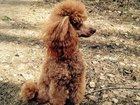 Смотреть foto Потерянные Пропал карликовый пудель 32839704 в Котельники