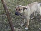 Просмотреть фото Отдам даром - приму в дар отдам собаку в надежные руки 66369943 в Коврове