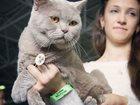 Фотография в Кошки и котята Вязка Чистокровный Британец лилового окраса (BRI в Краснодаре 0