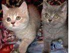 Скачать бесплатно фотографию Кошки и котята лиловая на серебре британочка 32508949 в Краснодаре
