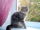 Изображение в Кошки и котята Продажа кошек и котят Продам шотландскую вислоухую кошечку (скотиш-фолд). в Краснодаре 3000