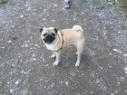 Фотография в Собаки и щенки Вязка собак Мопс Стефан забавный с острова панды ищет в Краснодаре 0