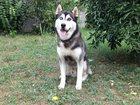 Фото в Собаки и щенки Вязка собак Предлагается для вязки кобель СИБИРСКИЙ ХАСКИ. в Сочи 0