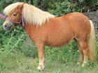 Смотреть изображение  Продам шетлендского пони 34314034 в Краснодаре