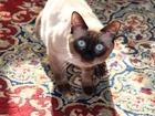Изображение в   Сиамский кот с хорошей родословной ищет кошечку в Краснодаре 1000