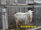 Скачать бесплатно foto Другие животные Племенной зааненский козел 34585650 в Краснодаре