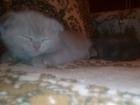 Фото в Кошки и котята Продажа кошек и котят Шикарные чистокровные котята шотландской в Краснодаре 0