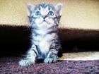 Фотография в   Срочно. Кот. В добрейшие руки. Доставка в Краснодаре 200