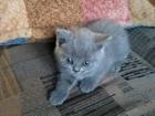 Фото в   Чудные шотландские котята страйты, отдам в Краснодаре 0