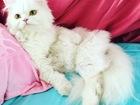 Увидеть фото Вязка Ищу для вязки кота белого ( серого) Персидского/Британского кота 37229128 в Краснодаре