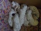 Изображение в   Добрые, ласковые, игривые щенки породы Далматин в Краснодаре 5000