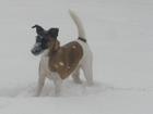 Скачать фотографию Вязка собак Ищем кобеля для вязки Гладкошерстного фокстерьера 38561833 в Краснодаре