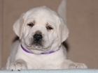 Фото в   Продаются очень красивые щенки лабрадора в Краснодаре 0