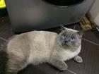 Фото в Кошки и котята Вязка Наш опытный, крупный котик ждет в гости кошек. в Краснодаре 1500