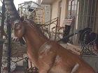 Свежее изображение  Горный козел (Ибекс) из металла,скульптура 39052628 в Краснодаре