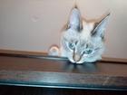 Смотреть фото  Нужен кот сиамский, тайский 39155801 в Краснодаре