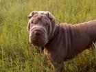 Скачать фото Вязка собак вязка шарпея лилового окраса 51226228 в Краснодаре