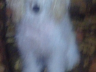 Уникальное foto  той- пудель(ДЕВОЧКА) светлого окраса , срочно нужен кобель породы той-пудель для вязки, 67708438 в Краснодаре
