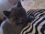 Продается британский котенок Британский котеночек, без документов. Родился 10. 0