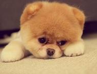 Приму в дар щенка шпица Приму в дар щенка шпица. Нет возможности купить кроху. О